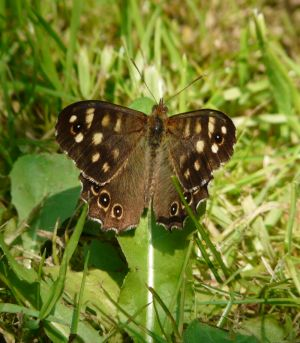 Speckled Wood Butterfly Image