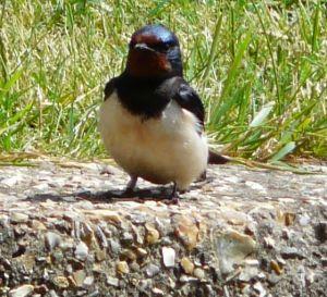 Swallows at Skegness Waterway Photo