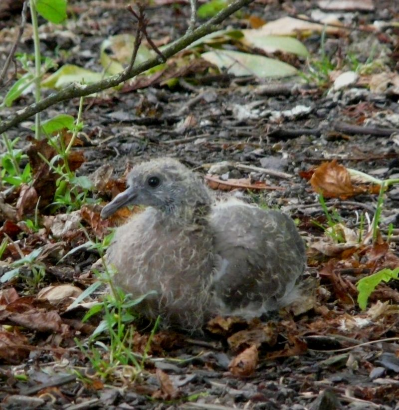 Picture: Baby Wood Pigeon