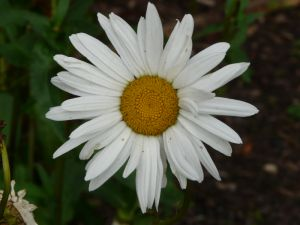Picture: Big Daisy