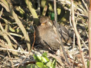 Black Bird in Undergrowth Image