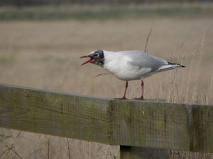 Black Headed Gull Squawking Photo
