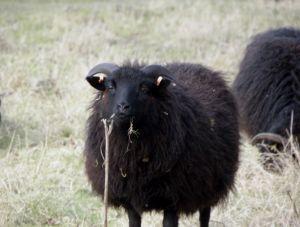 Black Sheep Photo