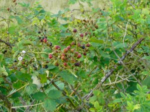 Wild Blackberries Image