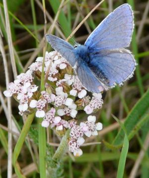 Common Blue Butterfly Photograph