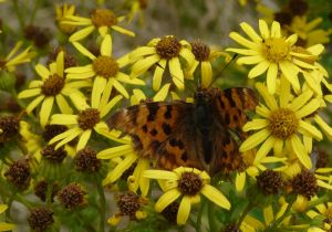 Comma Butterfly Picture