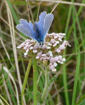 Common Blue Butterfly with Open Wings Photograph