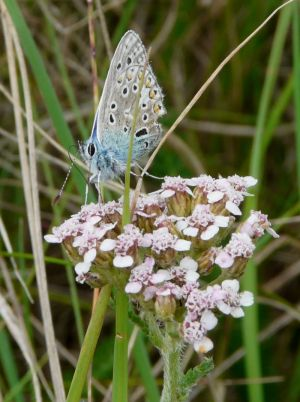 Common Blue Butterfly with Folded Wings Photo