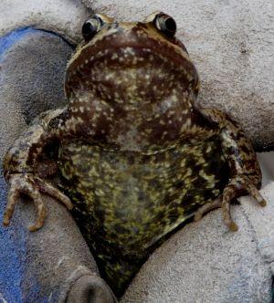 Common Frog In Garden