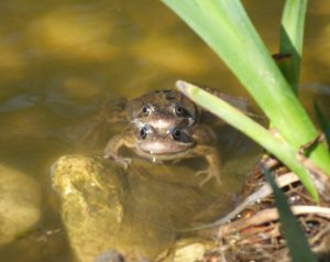 Common Frog in Water Photo