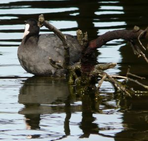Coot at Skegness Boating Lake Photograph Photograph