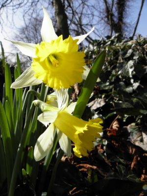 Daffodils and Ivy Photography