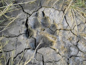 Dogs Paw Print in Mud Photograph