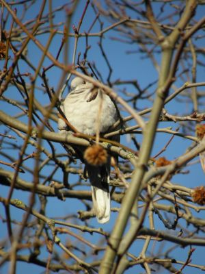 Dove in a Tree Photo