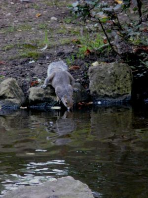 Drinking Grey Squirrel Original Photo