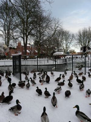 Ducks Snow Scene Photograph