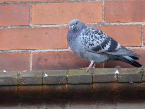 Fluffed up Pigeon