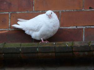 Fluffy White Pigeon