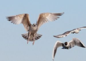 Flying Gulls Photo