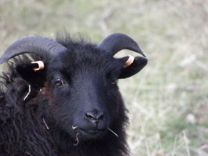 Black Sheep Photo