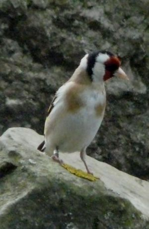 Goldfinch Image