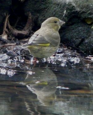 Greenfinch Photo