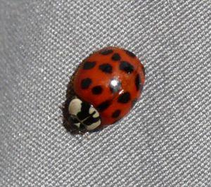Harlequin Ladybird Photograph