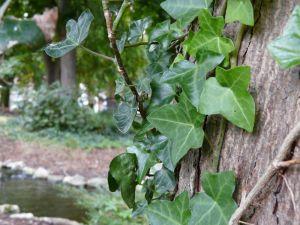 Ivy on Tree Photo
