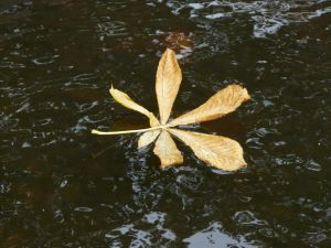 Leaf on Water Picture
