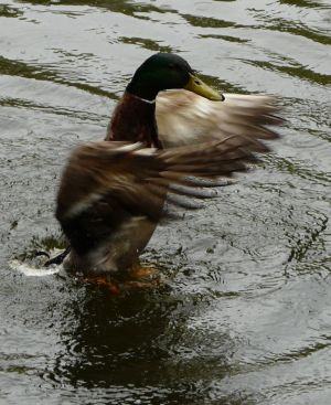 Mallard Flapping Image
