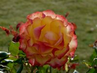 Multicolour Rose Photograph