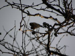 Gold Finch out of focus shot Picture