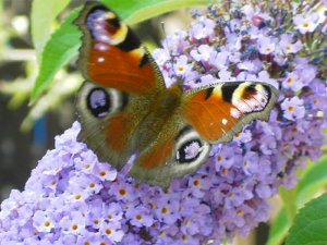 Peacock Butterfly Picture