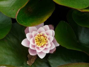 Pink Water Lilly Picture In Skegness