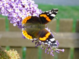 Red Admiral on Butterfly Bush Picture
