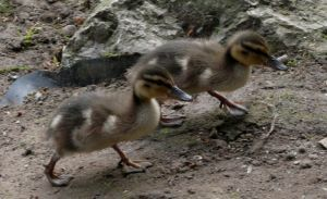 Running Ducklings Image
