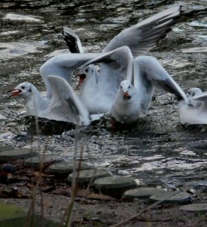 Seagull Squabble Photograph