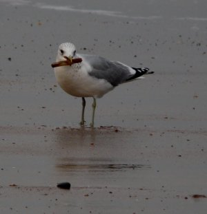 Seagull with Food Photograph