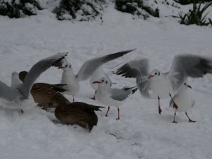 Seagulls in Snow Picture