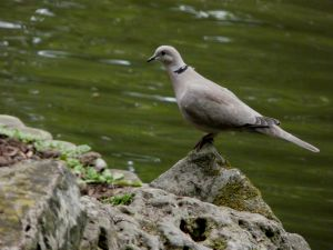 Skegness Tower Gardens Dove Picture