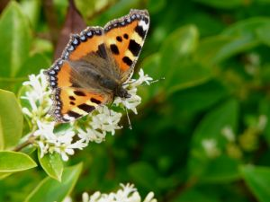 Small Tortoiseshell Butterfly Photo