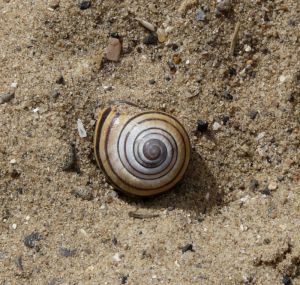 Snail Shell in Sand Photo