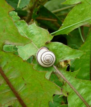 Snail Shell on Dandelion Leaves Photo
