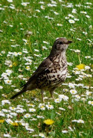 Song Thrush In Daisies Photo