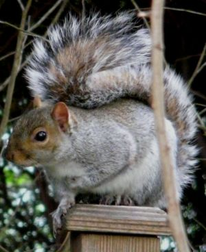 Grey Squirrel on a Post Image
