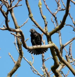 Starling in Tree Branches Photograph