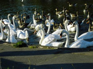 Swans on Water Image