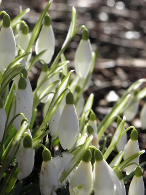 Tower Gardens Spring Snowdrops  Photo
