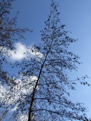 Tree Against Blue Sky Picture