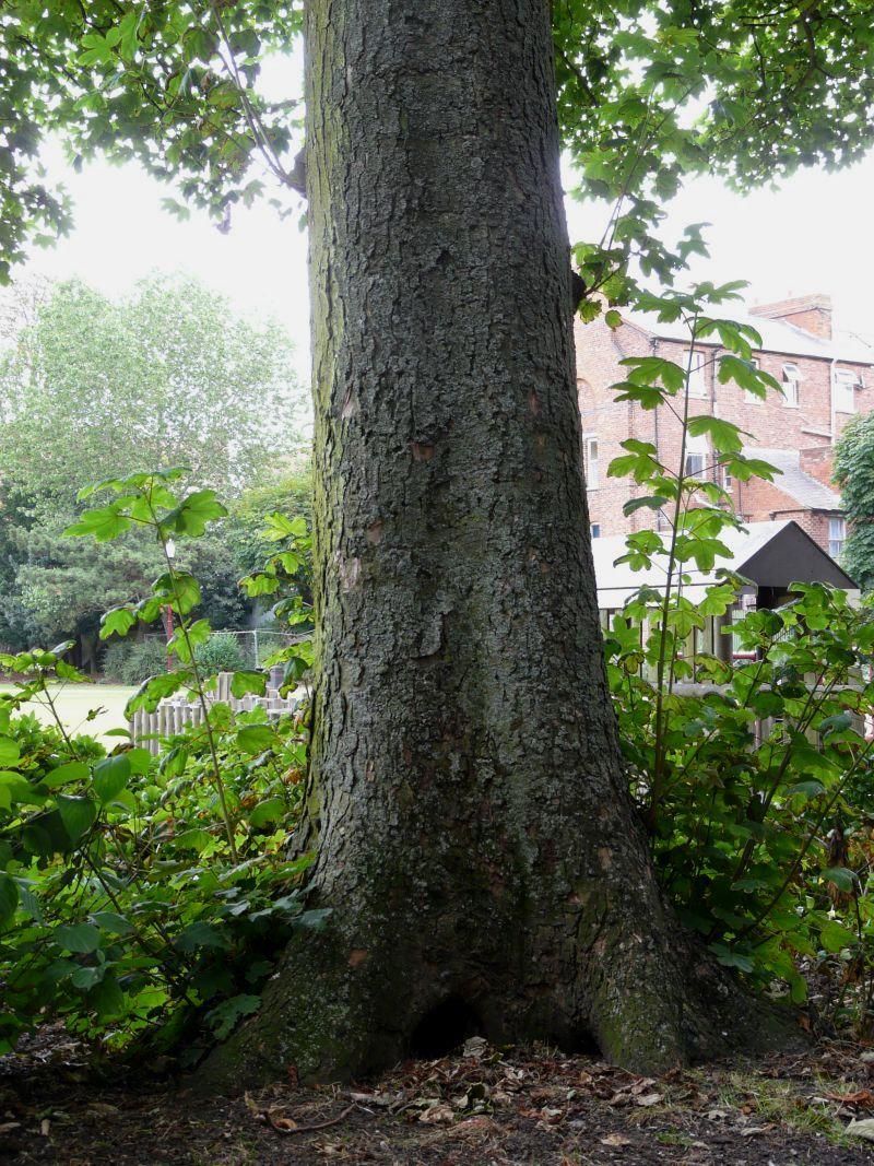Multi-<b>trunk Tree</b> Royalty Free Stock Photo - Image: 597795